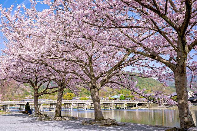 嵐山の中之島公園の桜