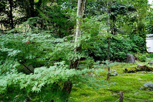 フォトウェディングのロケ地・浄住寺の新緑時期の青もみじ